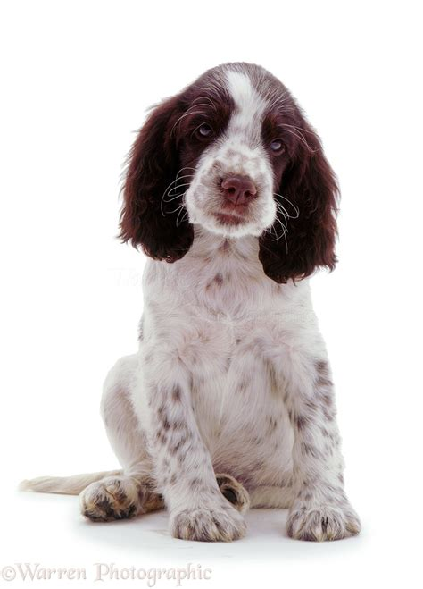 Black And White Home by Dog English Springer Spaniel Pup Photo Wp02777