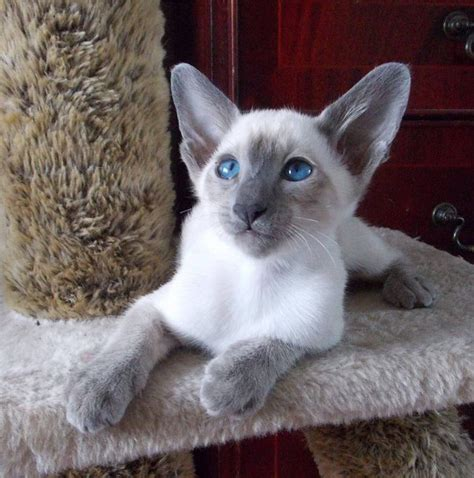 8 Reasons To Get A Siamese Cat by What Is The Temperament Of A Point Siamese Cat Quora