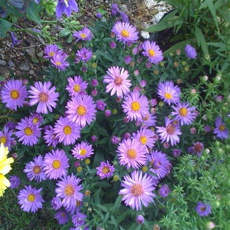 a new flowering 1000 1854442066 onlineplantcenter 1 gal wood s purple new york aster plant a157cl the home depot
