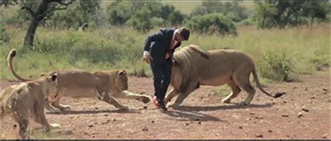 imagenes de leones gif gif jugando al f 250 tbol con leones gif 4047