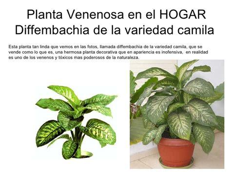 imágenes de flores venenosas planta venenosa camila casa hogar