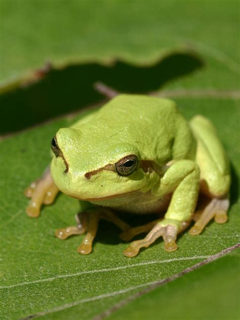 tree frog wikipedia