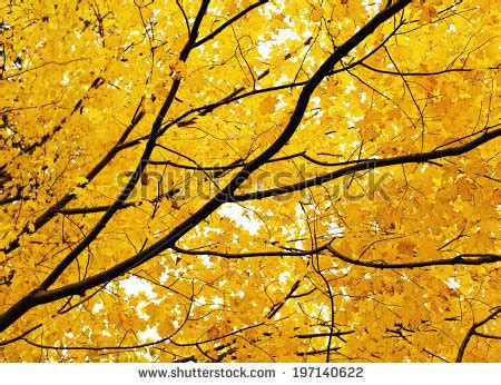 cluster exeter 9 tree tree branch cluster maple leaves stock photo 197136617
