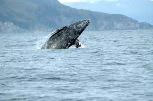 California Grey Gray Whale Facts History Useful Information And Amazing