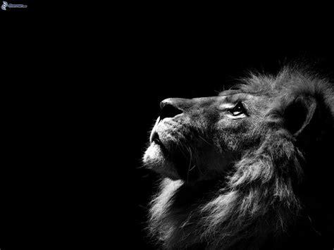 imagenes de leones a blanco y negro le 243 n