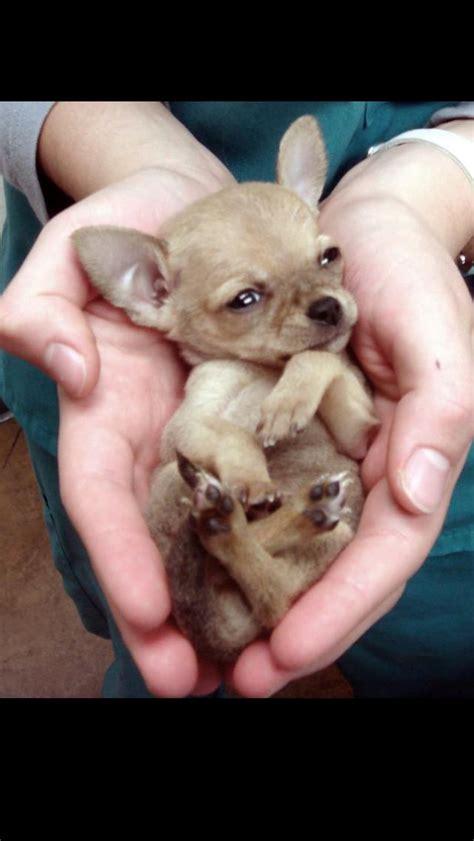 baby chihuahua puppies a baby chihuahua chihuahua chihuahuas pets and puppys