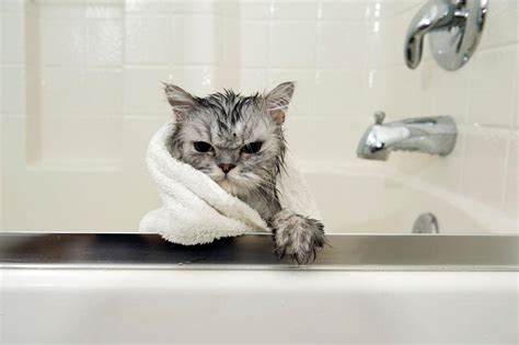 Can You Shower A Cat by 15 Funniest Pictures Of Cats Slideshow