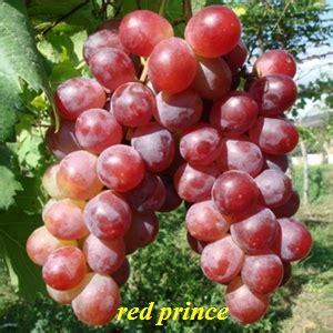 Bibit Anggur Caroline thomasgrape stock bibit anggur