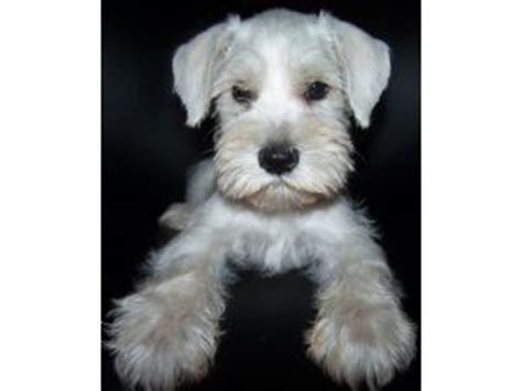 white miniature schnauzer puppies for sale miniature schnauzer puppies for sale