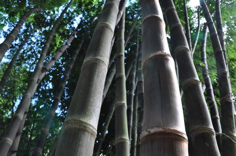 Hitam Mamboo dendrocalamus asper cv hitam black asper or betung