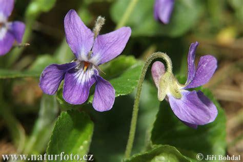 mammola fiore viola mammola foto immagini