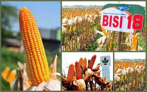 Bibit Jagung Hibrida Bisi 222 prioritas riset bisi tingkatkan produksi benih agrifood id