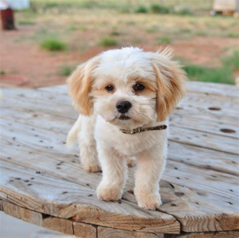 shih poo puppies haircuts shih poo shih tzu poodle mix facts temperament