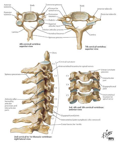 cervical spine diagram cervical vertebrae