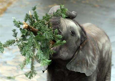 photo in the news baby elephant eats christmas trees