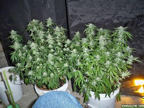 hempy sog joshs  indoor grow