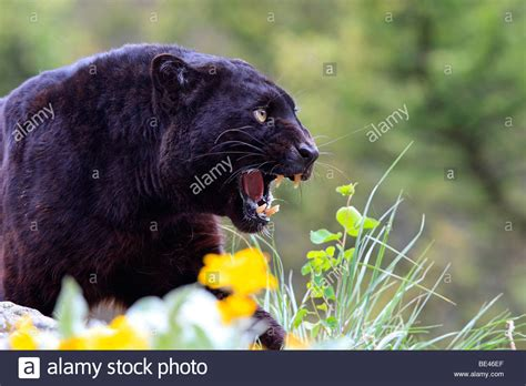 what color is a panther black panther panthera pardus black color phase of