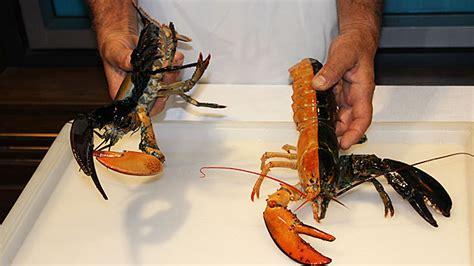 split colored lobster split colored lobster massachusetts coast