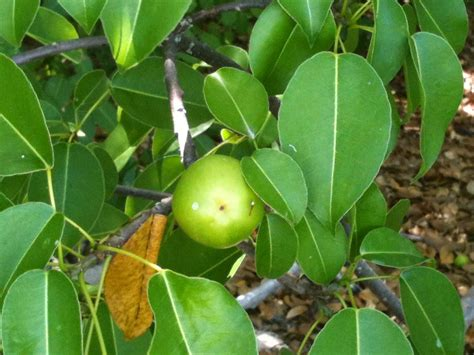 fruits of a poisonous tree experiencing global history in my home st croixusvi