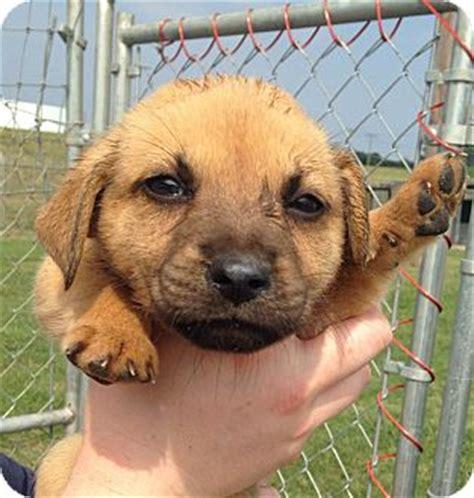 german shepherd puppies nashville tn german shepherd akita mix puppy for adoption in nashville tennessee ellie