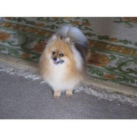 pomeranian puppies in nc paws pomerarnians pomeranian breeder in shelby carolina listing id 14649