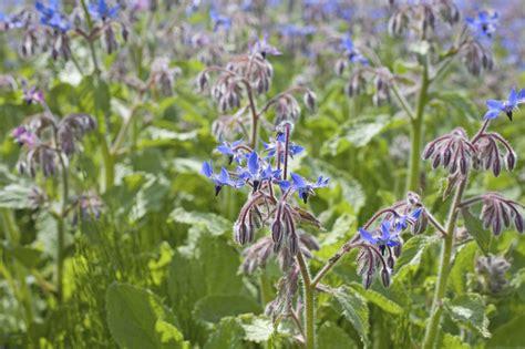 Blue Flower Crop using borage as fertilizer tips on planting a borage cover crop