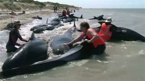 Stranding Record New Zealand Marked Its Third Highest Record For Whale Stranding