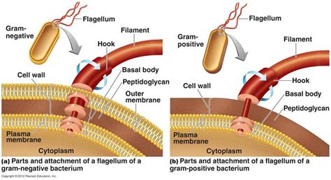 diagram of flagella 1 commulative review guide at los angeles