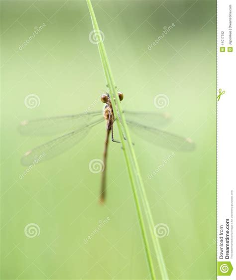 green dragonfly l green dragonfly stock photo image 44017792