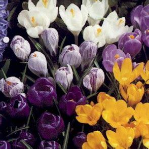 fiori di croco lemiepiante enciclopedia dei fiori e delle piante