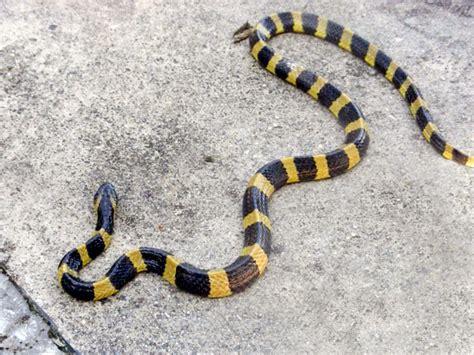 Korek King Yellow Ular Plus Asbak black snake with yellow horizontal stripes