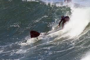 southern right whale plays in the swell with surfers