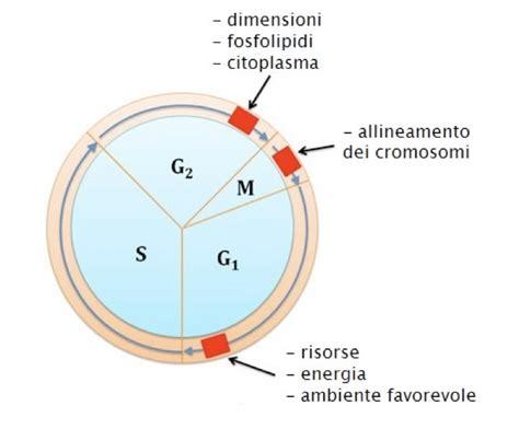 dei punti ciclo cellulare