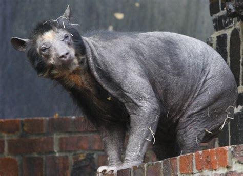 Hairless Bear Meme - dolores the bear s mysterious and sad hair loss photos