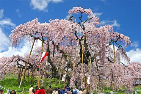 cherry tree quiz cherry blossom trivia enjoy cherry blossom viewing featured destinations jr east