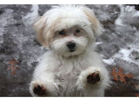 cuts for shih poos shih poo puppy grooming how to care for your poodle mix