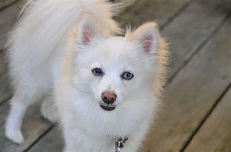 small white pomeranian puppies pomeranian breeds 101 what you need to about this