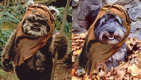 dogs that look like yorkies yeah my looks like a starwars ewok mac yorkie poodle yorkiepoo ogden utah