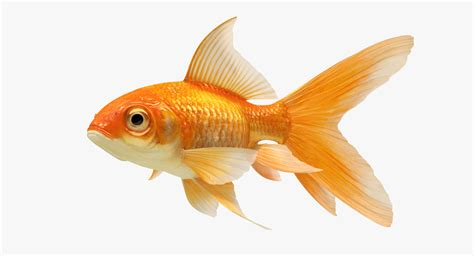 Fish 3d Model Free 3d model goldfish 2 animation turbosquid 1154992