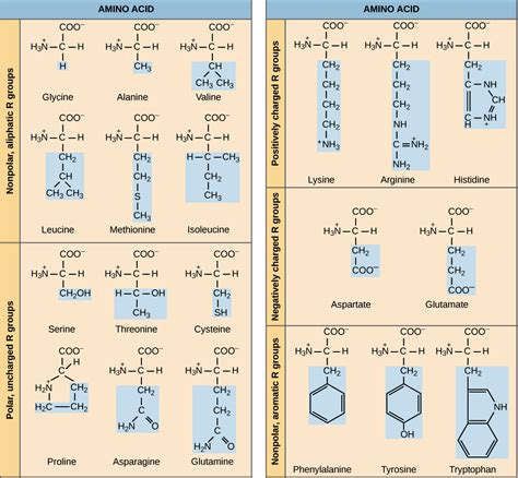 protein 8 essential amino acids amino acid chart introduction to proteins and amino