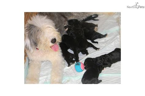 Hypoallergenic Dogs No Shedding by Shepadoodle For Sale For 1 250 Near Ce60cc61 E561
