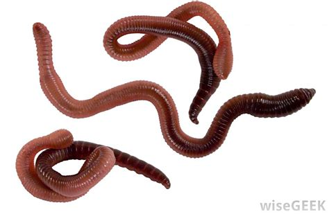 dogs worms flat white worms breeds picture