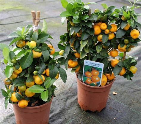 Pupuk Bunga Jeruk tanaman jeruk kalamansi calamondin bibitbunga