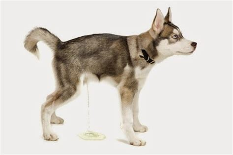 what to do if dog pees in house symptoms to watch for in your dog changes in urination urinary accidents dawg
