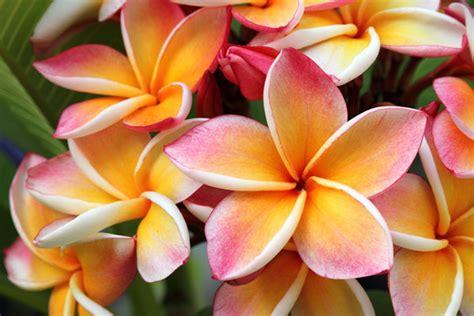 fiori frangipane frangipane fiore impariamo a coltivare la plumeria