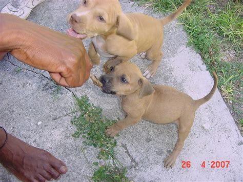 redboy jocko puppies for sale original bloodline kennels home of some of the best redboy jocko jeep rascal blood