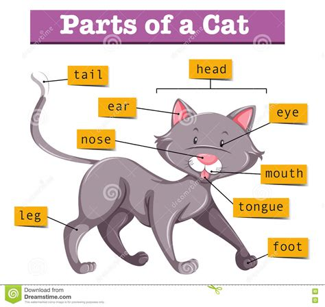 diagram of a cat diagram showing parts of cat stock vector image 75150929