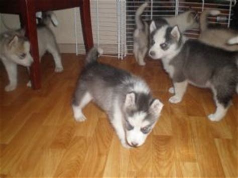 siberian husky puppies for sale in iowa siberian husky puppies for sale