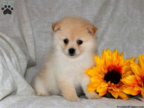 teacup pomeranian puppies for sale in pa barney pomeranian puppy for sale pomeranian
