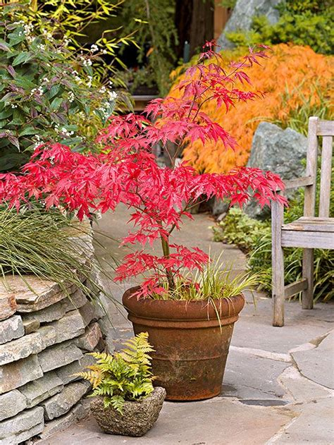 Japanese Container Garden - 17 best ideas about japanese maple trees on pinterest japanese maple care acer palmatum and